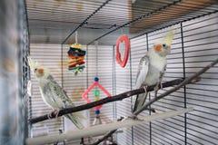 Un bello pappagallo bianco di paia in una gabbia fotografie stock