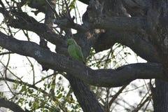 Un bello pappagallo sull'albero Fotografia Stock