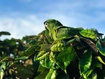 Un bello pappagallo verde o pappagallo di conuro nel suo habitat naturale immagini stock