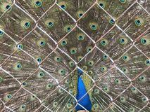 Un bello pavone Fotografie Stock