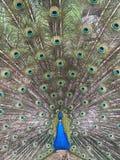 Un bello pavone Fotografia Stock