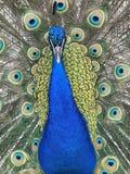 Un bello pavone Fotografia Stock Libera da Diritti