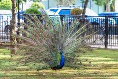 Un bello pavone cammina con una coda saltata Fotografie Stock