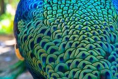 Un bello pavone con le piume variopinte back Fotografia Stock Libera da Diritti