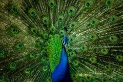 Un bello pavone maschio che esamina macchina fotografica immagine stock