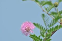 Un bello piccolo fiore della lavanda sulla priorità alta con gli stami lunghi contro i precedenti verdi di terra erbosa fotografia stock
