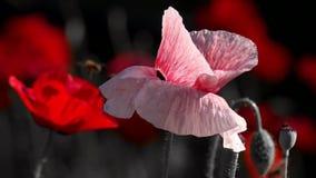 Un bello piccolo germoglio del fiore rosso del papavero ondeggia nel vento Papavero rosa archivi video