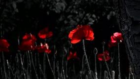 Un bello piccolo germoglio del fiore rosso del papavero ondeggia nel vento Papavero rosa video d archivio