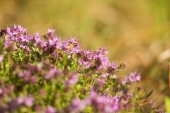 Un bello primo piano di un timo selvaggio naturale fiorisce sbocciare vicino al legno tè selettivo naturopathy di infusione di er Immagine Stock Libera da Diritti