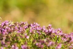 Un bello primo piano di un timo selvaggio naturale fiorisce sbocciare vicino al legno tè selettivo naturopathy di infusione di er Immagine Stock