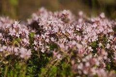 Un bello primo piano di un timo selvaggio naturale fiorisce sbocciare vicino al legno tè selettivo naturopathy di infusione di er Fotografie Stock