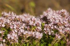 Un bello primo piano di un timo selvaggio naturale fiorisce sbocciare vicino al legno tè selettivo naturopathy di infusione di er Fotografia Stock Libera da Diritti