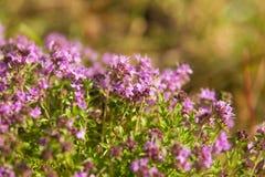Un bello primo piano di un timo selvaggio naturale fiorisce sbocciare vicino al legno tè selettivo naturopathy di infusione di er Fotografia Stock