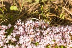 Un bello primo piano di un timo selvaggio naturale fiorisce sbocciare vicino al legno tè selettivo naturopathy di infusione di er Fotografie Stock Libere da Diritti