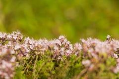 Un bello primo piano di un timo selvaggio naturale fiorisce sbocciare vicino al legno tè selettivo naturopathy di infusione di er Immagini Stock