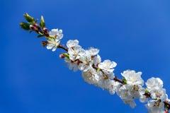 Un bello ramo dell'albicocca/ciliegia bianche fiorisce Fotografia Stock