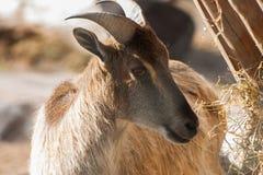 Un bello ritratto di una capra Immagini Stock Libere da Diritti