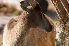 Un bello ritratto di una capra Fotografia Stock Libera da Diritti