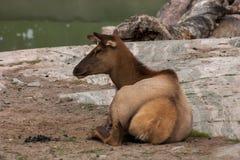 Un bello ritratto di una capra Immagini Stock