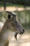 Un bello ritratto di una capra Fotografie Stock Libere da Diritti