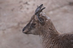Un bello ritratto di una capra Fotografie Stock