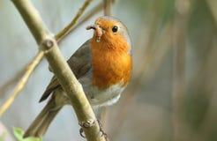 Un bello Robin, rubecula del Erithacus, appollaiantesi su un ramo in un albero con Caterpillar in suo becco immagine stock