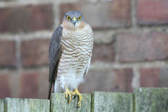 Un bello, selvaggio, Sparrowhawk, nisus del Accipiter, si è appollaiato su un recinto del giardino che cerca il suo pasto seguent fotografia stock libera da diritti