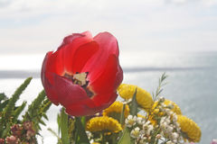 Un bello tulipano rosso porpora Fotografie Stock