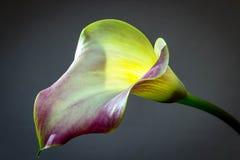 Un bello, una porpora e le calle dell'oro che fioriscono in primavera fotografie stock libere da diritti
