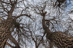 Un bello vecchio albero di salice marrone ramoso fantastico senza fogliame in un parco nell'inverno contro il cielo blu con le nu immagine stock libera da diritti