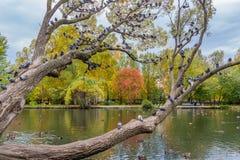 Un bello vecchio albero di salice ramoso fantastico con le foglie di giallo e di verde e un gruppo di uccelli dei piccioni in un  fotografia stock