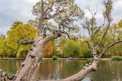 Un bello vecchio albero di salice ramoso fantastico con le foglie di giallo e di verde e un gruppo di uccelli dei piccioni in un  immagini stock libere da diritti