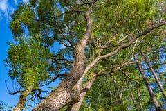 Un bello vecchio albero di salice ramoso fantastico con le foglie verdi in un parco di estate contro i precedenti del cielo blu fotografie stock