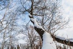 Un bello vecchio albero marrone ramoso fantastico con neve bianca e foglie gialle in un parco in autunno contro il cielo blu con fotografia stock