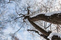 Un bello vecchio albero marrone ramoso fantastico con neve bianca e foglie gialle in un parco in autunno contro il cielo blu con fotografie stock libere da diritti