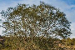 Un bello vecchio albero marrone ramoso fantastico di casuarina equisetifolia con le foglie verdi in un parco in autunno contro il immagini stock libere da diritti