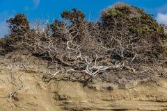 Un bello vecchio albero secco ramoso fantastico della smagliatura della curva è sulla duna gialla immagine stock