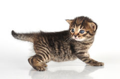 Un bello vecchio gattino sveglio da 20 giorni Fotografia Stock