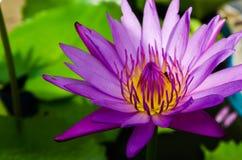 Un bello waterlily o fiore di loto Immagini Stock Libere da Diritti