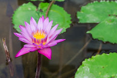 Un bello waterlily o fiore di loto in stagno Fotografia Stock