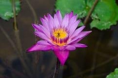 Un bello waterlily o fiore di loto in stagno con l'insetto in flo Immagini Stock Libere da Diritti