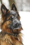 Un berger allemand neigeux Image libre de droits