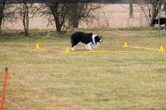Un berger de border collie exécute la commande photo stock