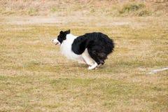 Un berger de border collie se casse pour exécuter un exercice d'obéissance photographie stock