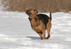Un berger de boxeur a mélangé le chien de race fonctionnant dans la neige Photos libres de droits