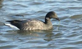 Un bernicla di Brent Goose Branta che si alimenta il litorale nel mare all'alta marea Fotografie Stock