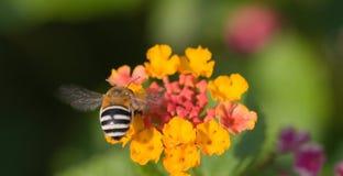 Un bey de la miel en una flor Imagen de archivo libre de regalías