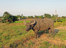Un búfalo de agua Foto de archivo libre de regalías