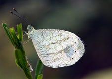 Un bianco butterly su un gambo fotografie stock