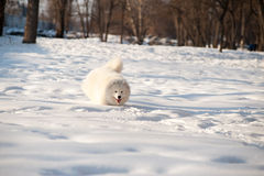 Un bianco del cane di Samoed Fotografia Stock Libera da Diritti